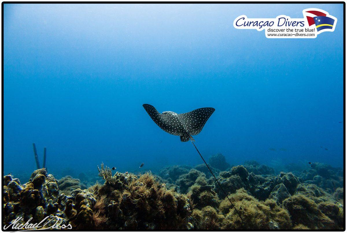 Curacao Tauchen Adlerrochen