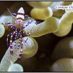 Putzergarnele beim tauchen Curacao Divers Deutsche Tauchschule Tauchen Tauchurlaub Urlaub entspannen Unterwasser Non Limit Freiheit selbstständig Karibik