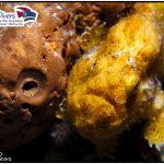 Anglerfisch Curacao Divers Deutsche Tauchschule Tauchen Tauchurlaub Urlaub entspannen Unterwasser Non Limit Freiheit selbstständig Karibik