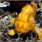 Anglerfisch beim tauchen Curacao Divers Deutsche Tauchschule Tauchen Tauchurlaub Urlaub entspannen Unterwasser Non Limit Freiheit selbstständig Karibik