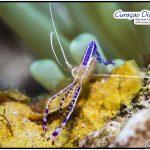 Putzergarnele UW Bild Curacao Divers Tauchen Tauchurlaub Urlaub entspannen Unterwasser