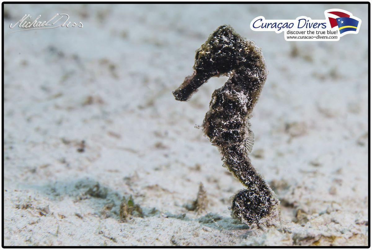 Seepferdchen Curacao Divers Deutsche Tauchschule Tauchen Tauchurlaub Urlaub entspannen Unterwasser Non Limit Freiheit selbstständig Karibik