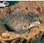 Beim Tauchen auf Curacao eine Schildkröte an dem besten Tauchplatz
